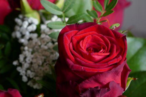 Обои Красная роза и мелкие белые цветы