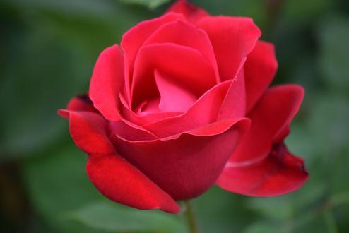 Обои Красная роза на размытом фоне