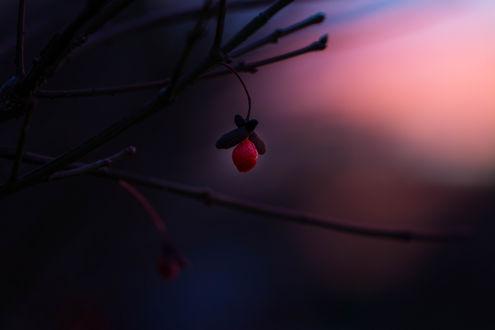Обои Оставшиеся красные ягоды шиповника на ветке, фотограф Julie Jablonski