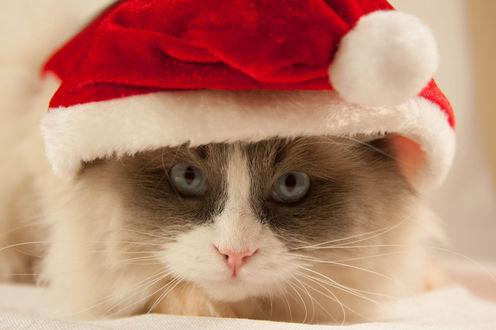 Обои Кошка в новогодней шапочке смотрит в камеру