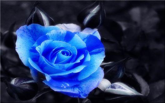Обои Голубая роза на черном фоне