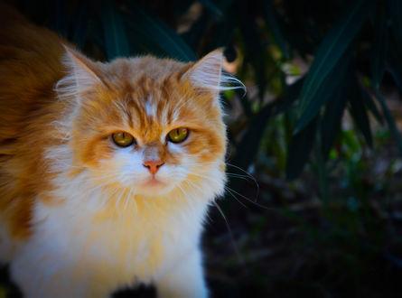 Обои Рыжая кошка на природе