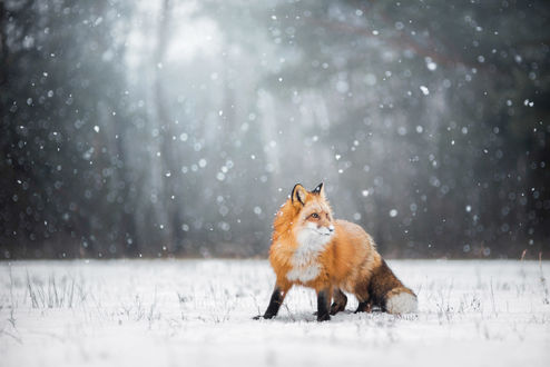 Обои Лиса на снегу под падающим снегом, фотограф Iza ЕЃyson
