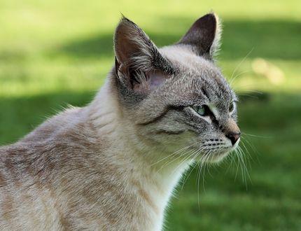 Обои Серо-белая кошка смотрит в сторону