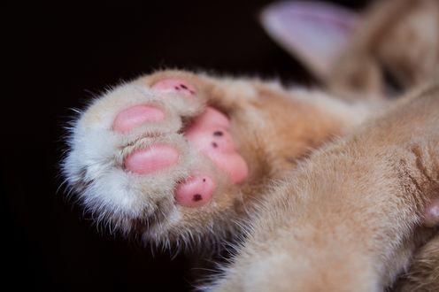 Обои Лапки кошки крупным планом