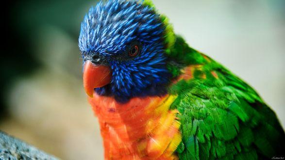 Обои Попугай - многоцветный лорикет
