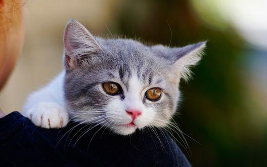 Обои Котенок на плече хозяина