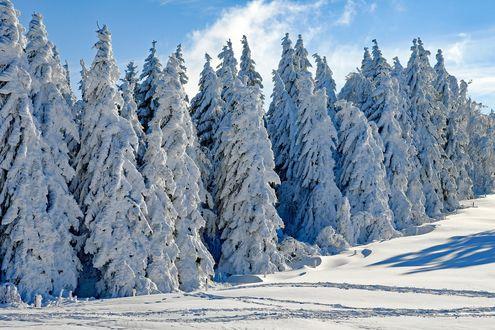 Обои Чьи-то следы на снегу у елей на фоне облачного неба