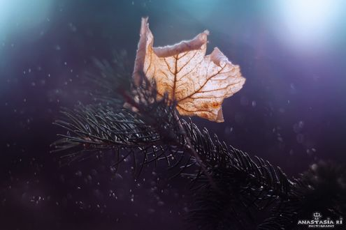 Обои Осенний кленовый лист на елочной ветке, фотограф Anastasia Ri