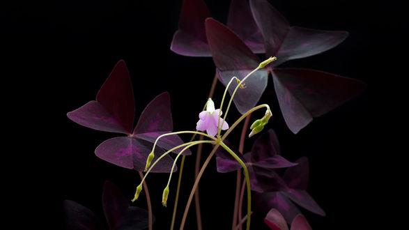 Обои Фиолетовые цветы на темном фоне, фотограф Роман Алябьев