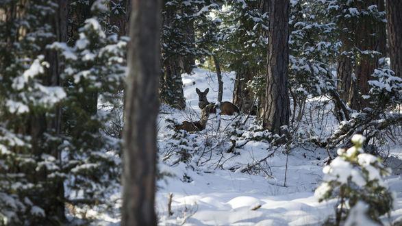 Обои Олени в зимнем лесу. Фотограф Maxim K