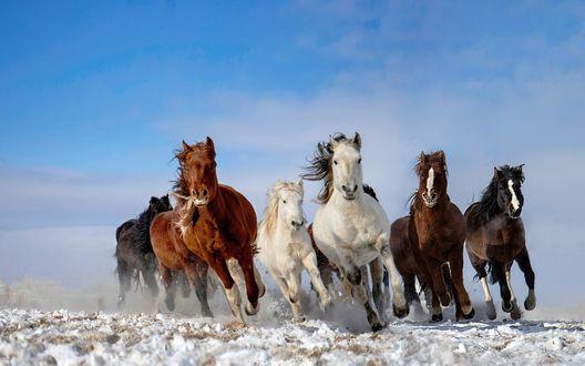 Обои Табун лошадей бежит по снегу