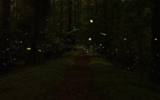 Обои Множество светлячков, летающих над тропинкой в темном лесу