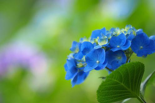 Обои Соцветие голубой гортензии на размытом зеленом фоне