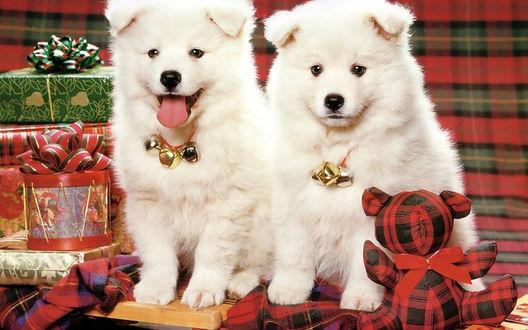 Обои Два белых щенка породы самоедская лайка сидят на фоне новогодних подарков