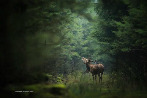 Обои Олень в лесу, фотограф Roland Jensen