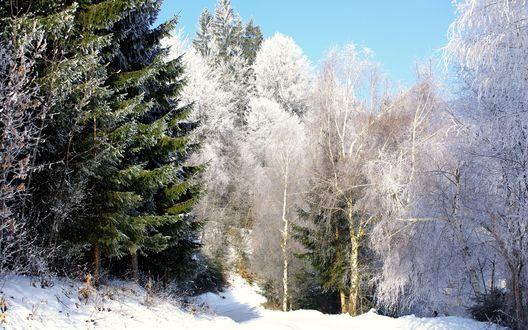 Обои Зимний лес из хвойных деревьев и берез