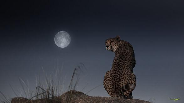 Обои Гепард сидит на фоне неба с полной луной, фотограф Carlos Santero