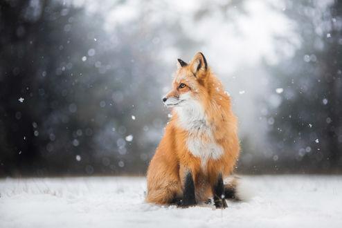 Обои Лиса под падающим снегом, фотограф Iza Lyson