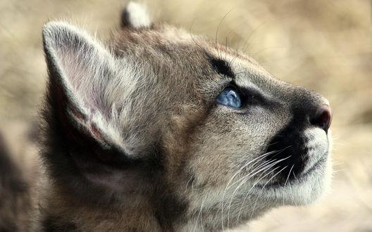 Обои Мордочка детеныша пумы с голубыми глазами