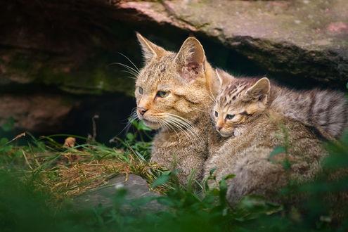 Обои Дикая кошка с котенком наблюдают на природе