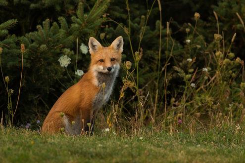 Обои Рыжая лиса на природе, фотограф Brendan Kelly