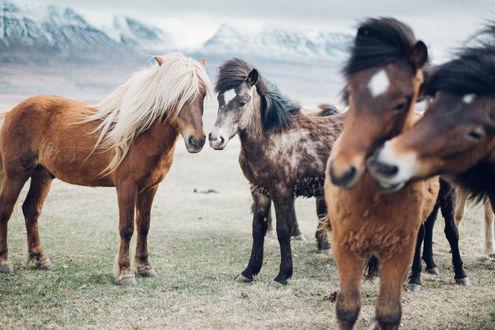 Обои Лошади на фоне гор, Island / Исландия, фотограф Martina Gebarovska