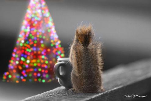 Обои Белочка сидит перед чашкой к нам хвостом и перед ней новогодняя елка, фотограф Andre Villeneuve