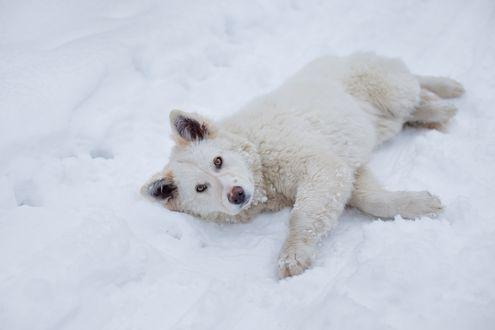 Обои Пес лежит в снегу