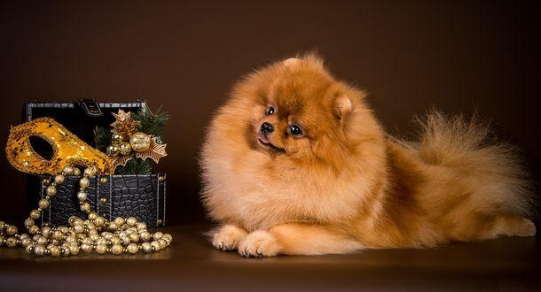 Обои Рыжеватая собачка породы померанский шпиц лежит рядом с новогодними украшениями в шкатулке