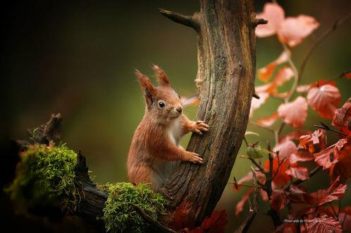 Обои Белка сидит на дереве, фотограф Roland Jensen
