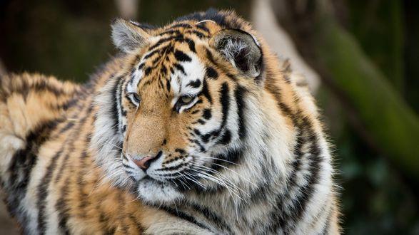 Обои Амурский тигр в заповеднике