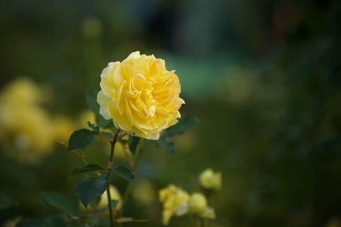 Обои Желтая роза на размытом фоне