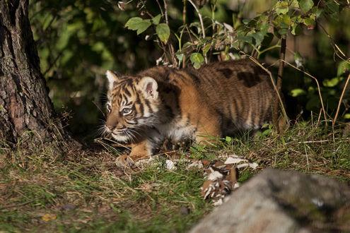 Обои Суматранский тигренок крадется по земле