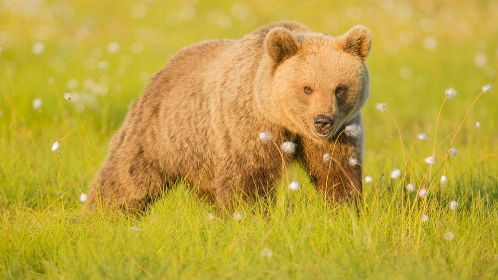 Обои для рабочего стола Медведь на лугу