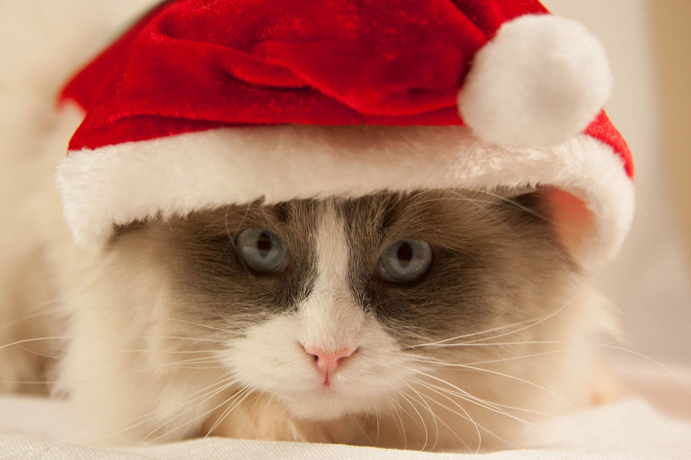 Обои для рабочего стола Кошка в новогодней шапочке смотрит в камеру