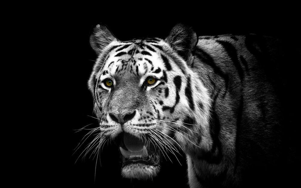 Обои для рабочего стола Морда тигра с открытой пастью на черном фоне