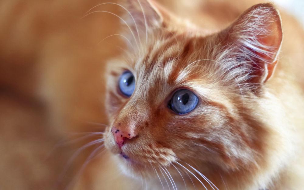 Обои для рабочего стола Мордашка рыжего кота