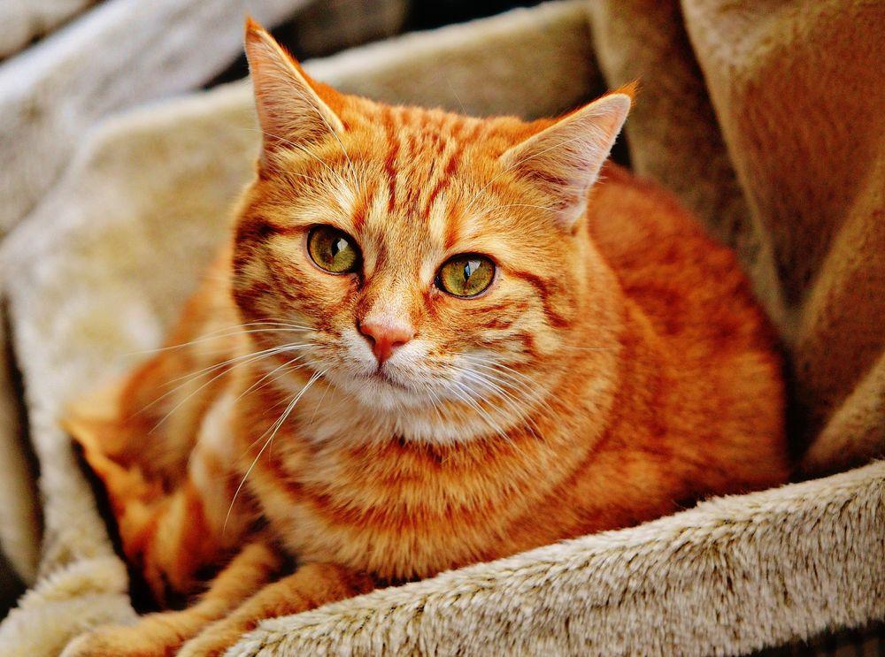 Обои для рабочего стола Рыжая кошка смотрит вверх