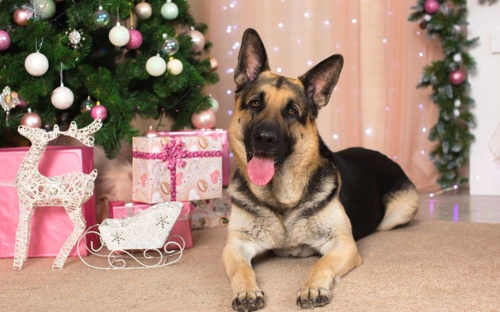 Обои для рабочего стола Овчарка лежит на полу возле подарков и новогодней елки