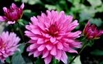 Обои Розовые георгины в саду