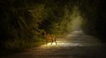 Обои Олененок стоит на дороге, фотограф Ray Bilcliff