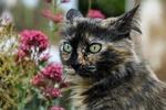 Обои Трехцветная кошка у розовых цветов