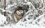 Обои Собака породы сибирский хаски среди заснеженных веток