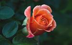 Обои Красивая роза с листьями на размытом фоне темной зелени