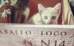 Обои Белый котенок выглядывает из коробки