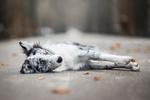 Обои Пес лежит на дороге, фотограф Иза Lyson