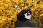Обои Пушистый бело-черный кот устроился на камне, на заднем плане кроны деревьев в осенней раскраске
