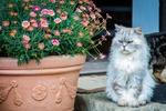 Обои Важный пушистый кот восседает у горшка с цветами, by maxmann
