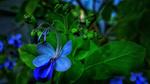 Обои Голубой цветок с зелеными листьями, фотограф SooCheol Lim